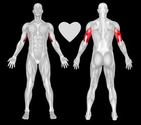 Exercise Dumbbell Kickbacks Muscles